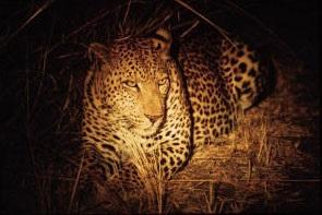 leopardo-notte